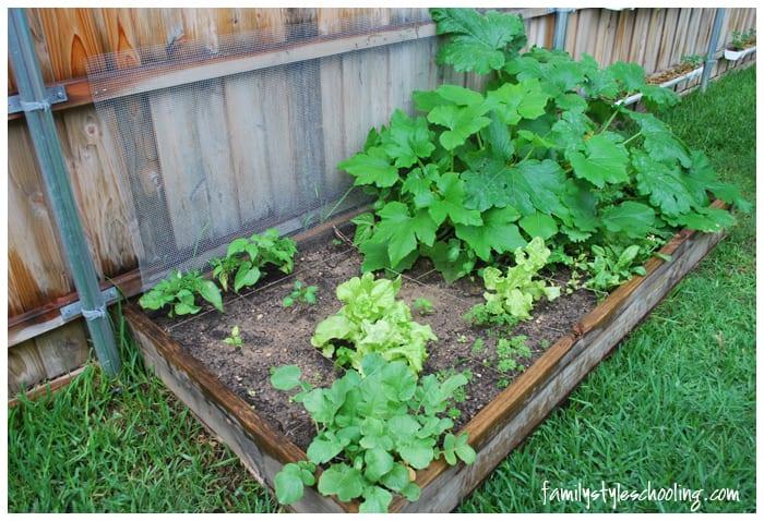 salad garden box growth