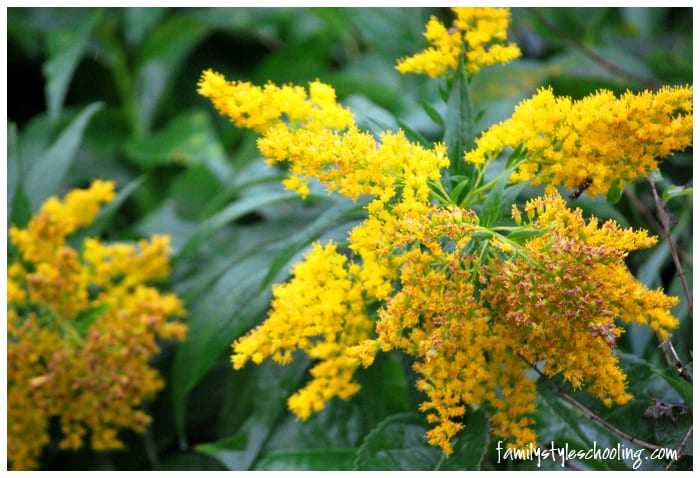 Maine flowers