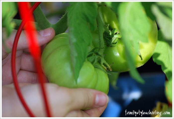 fried green tomatoes harvest