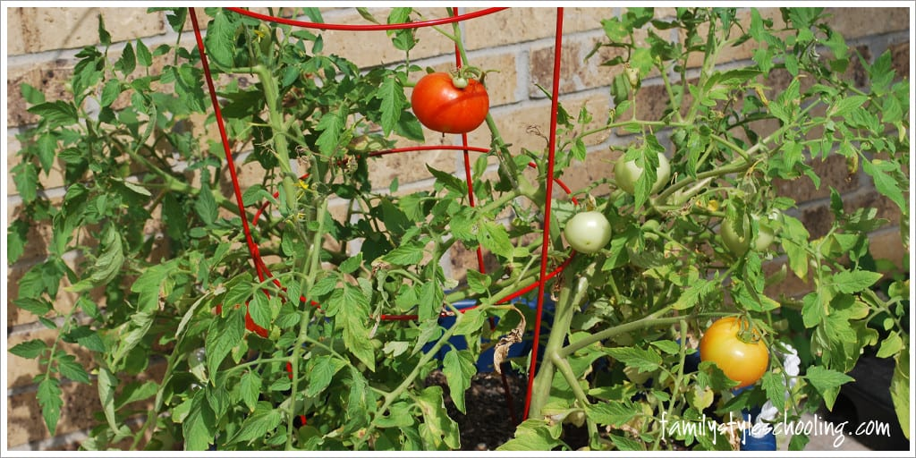 how do my tomatoes grow