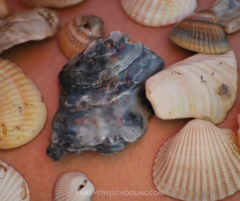 Galveston sea shells